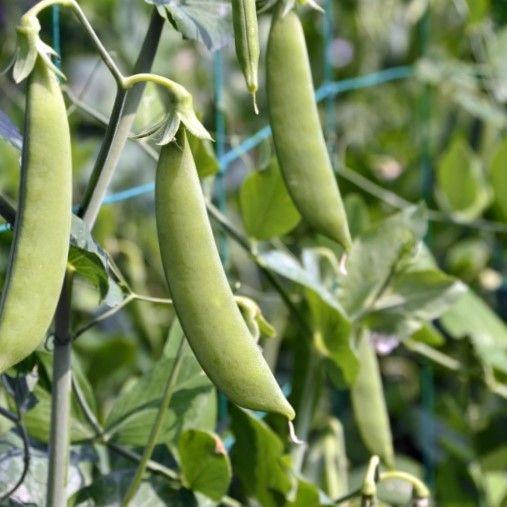 uprawa roślin strączkowych
